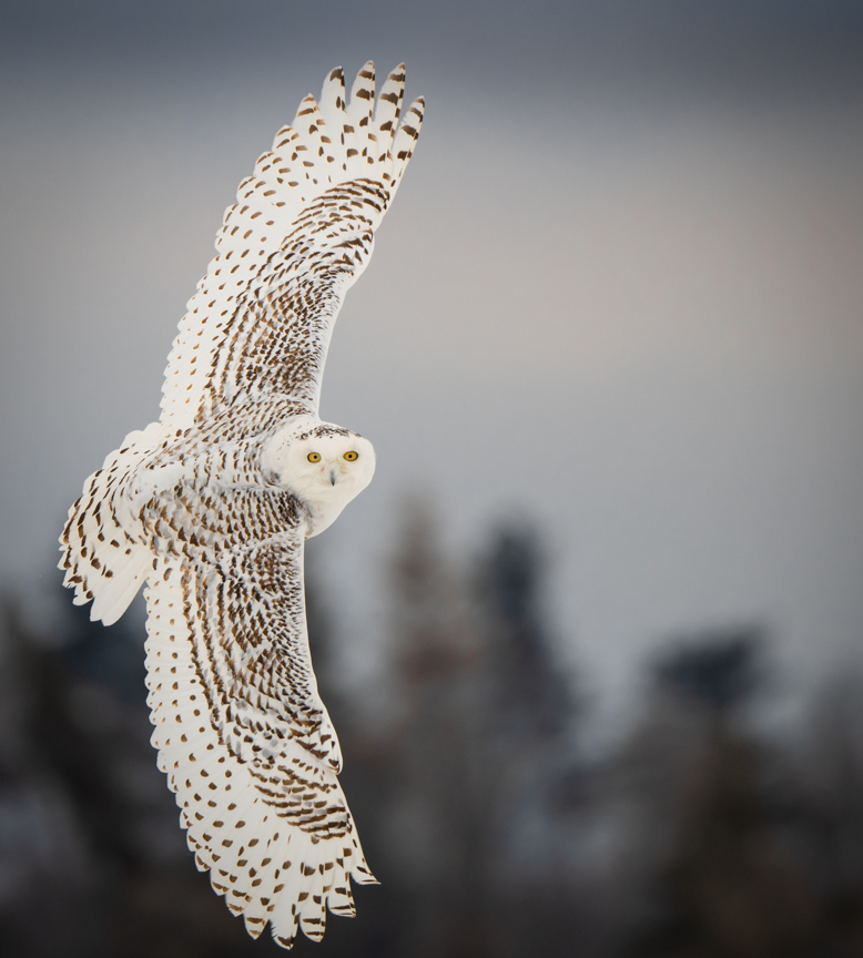 "Second Place Carol Budrow ""Snowy Owl - Over The Shoulder Pose"""