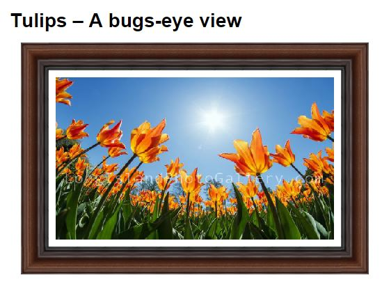 Neacy_Tulips-abugseyeview