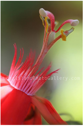 Passiflora Peter Lawrence by Estelita Asehan