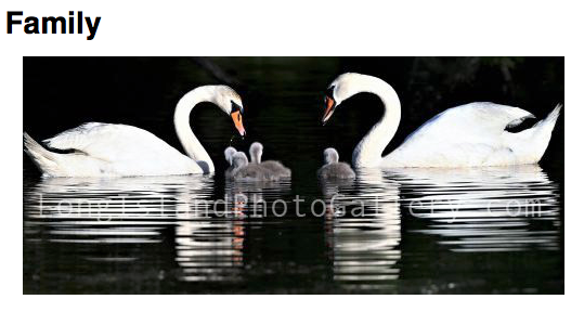 Photographer: Jerry McGrath Location: Wading River, NY Description: This family of swans lives peacefully at the Wading River Ponds.