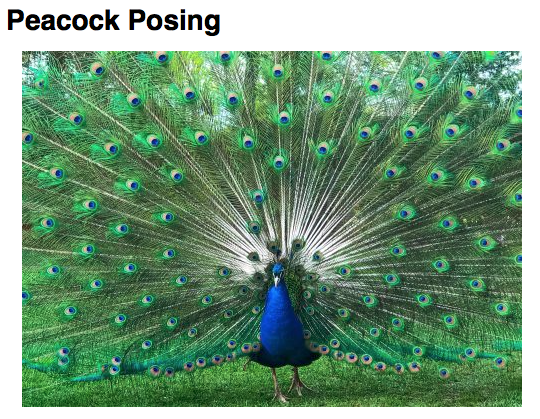 Photographer: Justin Bolobanic Title: Peacock Posing