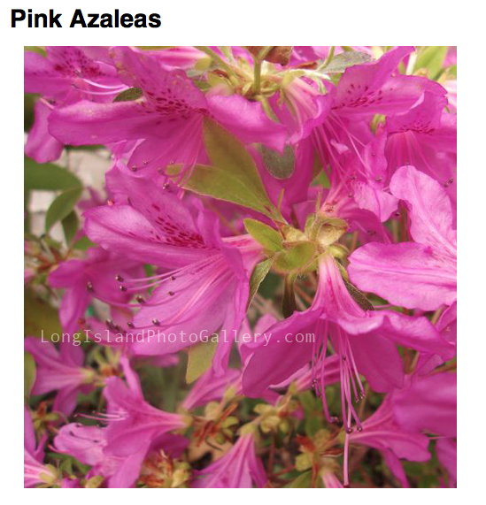 """Pink Azaleas"" Photographer: Edith Friedrichs"