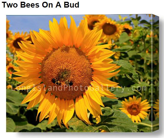 DeBiase_Two Bees on a Bud