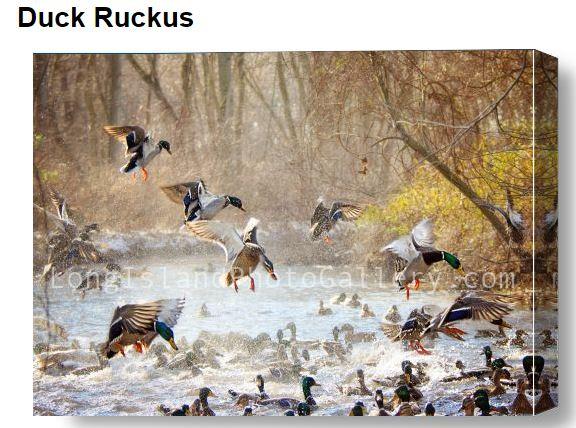 Jauron_DuckRuckus