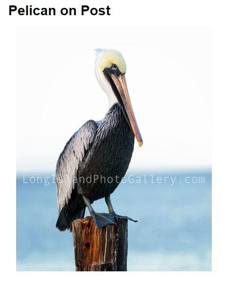 Jauron_pelican