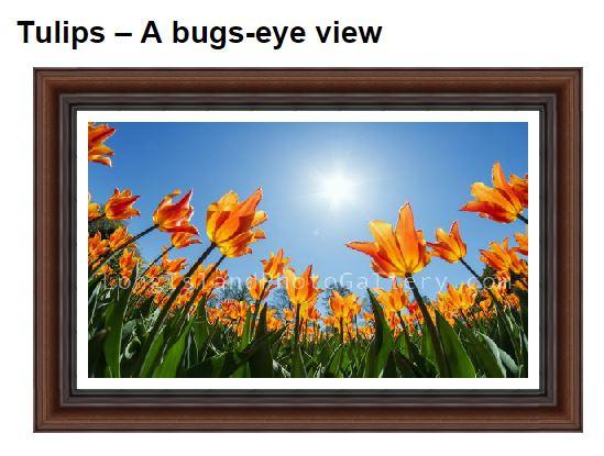 Neacy_Tulips-abugseyeview