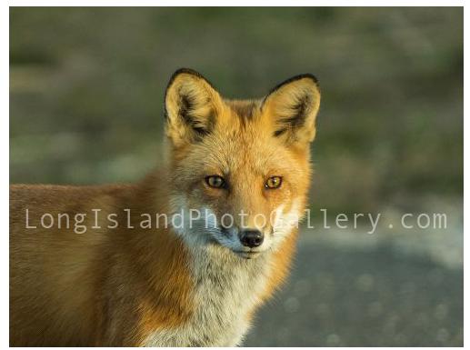 Foxy by Rich Iaboni