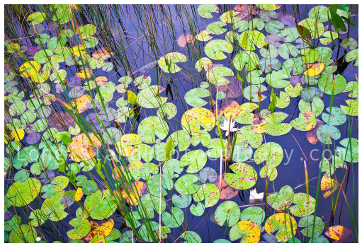 Adirondack water Lilies by Mike Stein