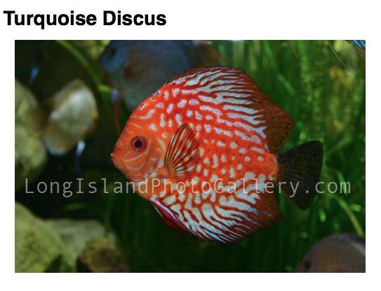 Photographer: Frank Margiotta Location: Atlantis Aquarium, Riverhead Description: Tropical Fish, Discus
