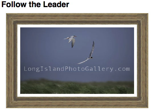 Photographer: Barbara Beyerbach Description: Foster Terns flying around with blue painted skies.